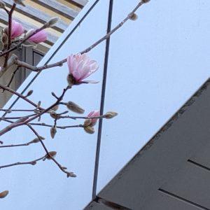 今年も咲き始めました